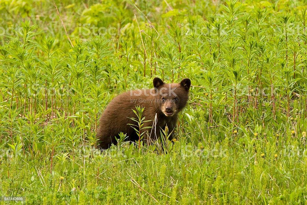 Small bear cub in grass. stock photo