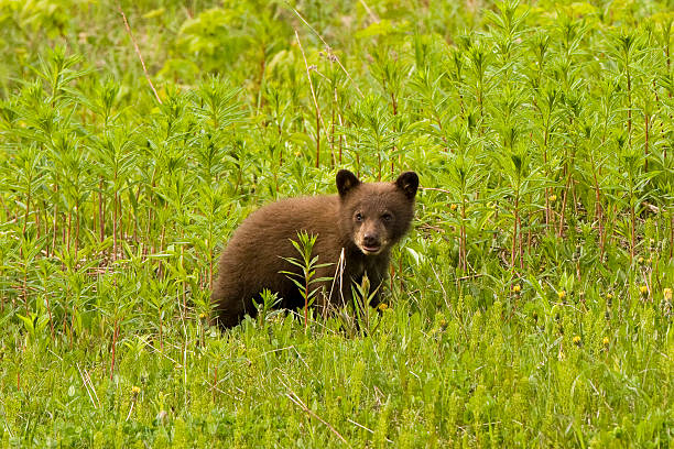 small bear cub in grass. - ourson photos et images de collection