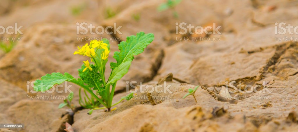 Green sprout of a mustard plant makes the way through a crack asphalt.