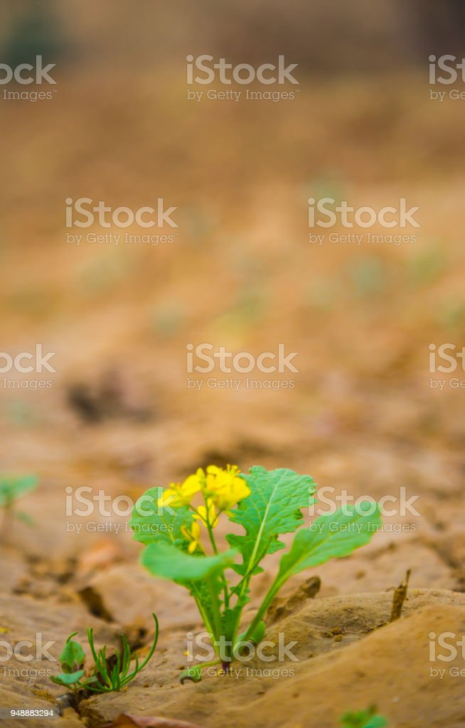 Green sprout of a mustard plant with green leaves makes the way...