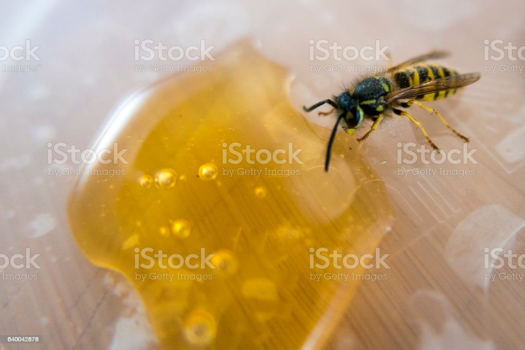 Small Bee eating liquid honey dripping - Photo