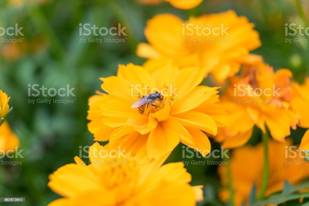Petite abeille qui pollinisent les fleurs - Photo