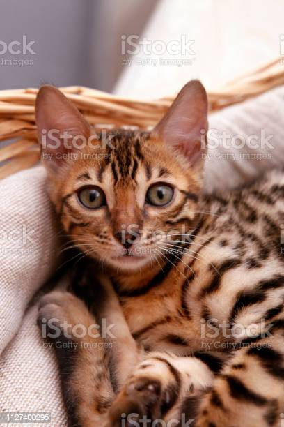 Small bengal kitten in a basket picture id1127400295?b=1&k=6&m=1127400295&s=612x612&h=rs 8z2mbdfxi87n5r2t7llqtodfgkhx9g4msiawlpj4=