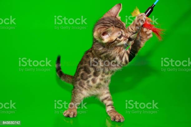 Small bengal kitten is playing with his toy picture id843530742?b=1&k=6&m=843530742&s=612x612&h=8tawdt gm3rqfhj8fyhhpm9tdm75lnhafcmngiiwlca=