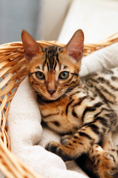 Small bengal kitten picture id675740842?b=1&k=6&m=675740842&s=612x612&w=0&h=2fjpwiwlwxvimbgye5jdywo3e0i5hb 0i2kdxvxhlx0=