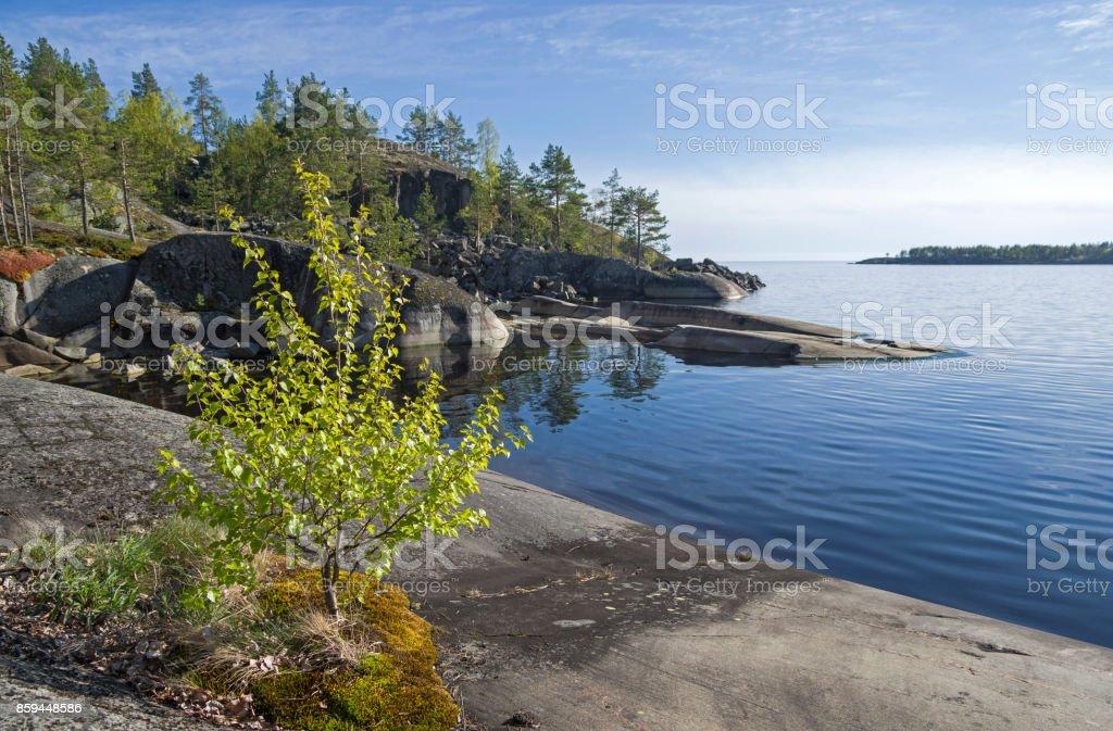 A small birch on the rocky shore of Lake Ladoga. stock photo