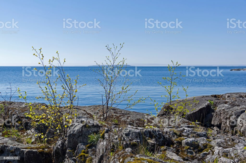 Small birch trees on the shore of Ladoga Lake stock photo