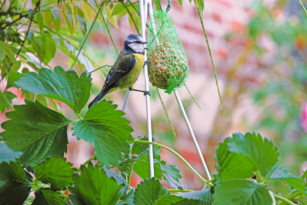 small bird eating from bird food in garden - daunenmantel schwarz stock-fotos und bilder