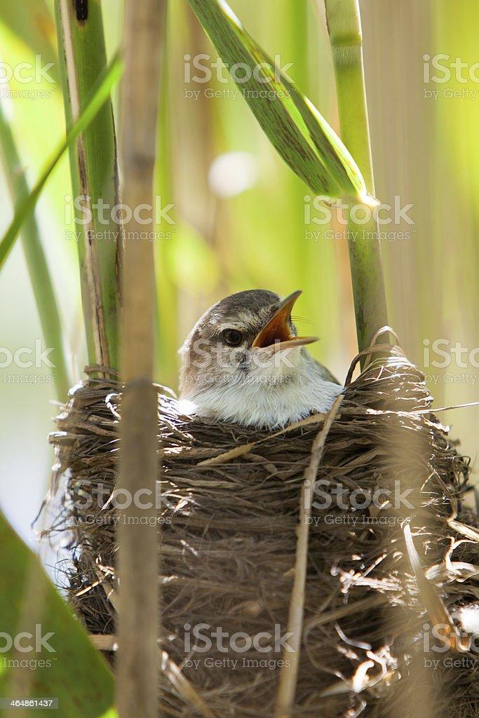 Small bird in nest royalty-free stock photo