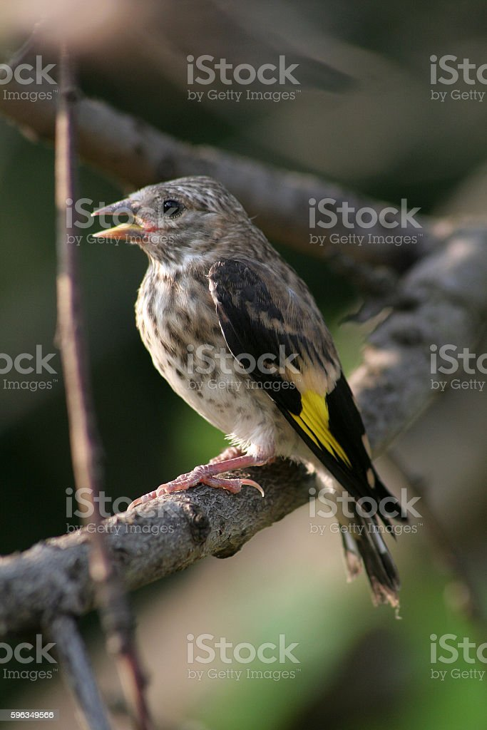 Small bird in the nature with opened mouth royalty-free stock photo