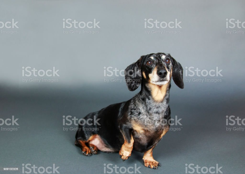 Small Black and Tan Dachshund lifting paw and sitting down on gray background. stock photo
