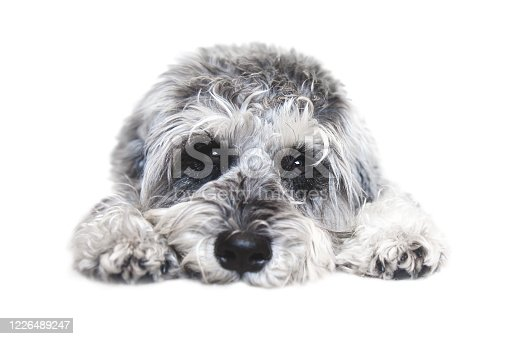 533229488 istock photo Small black and white miniature schnauzer dog wtih funny face looking at camera on white background 1226489247