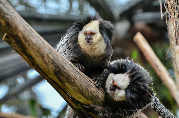 Small Black and White Monkey Callithrix Geoffroyi Small Black and White Monkey marmoset stock pictures, royalty-free photos & images