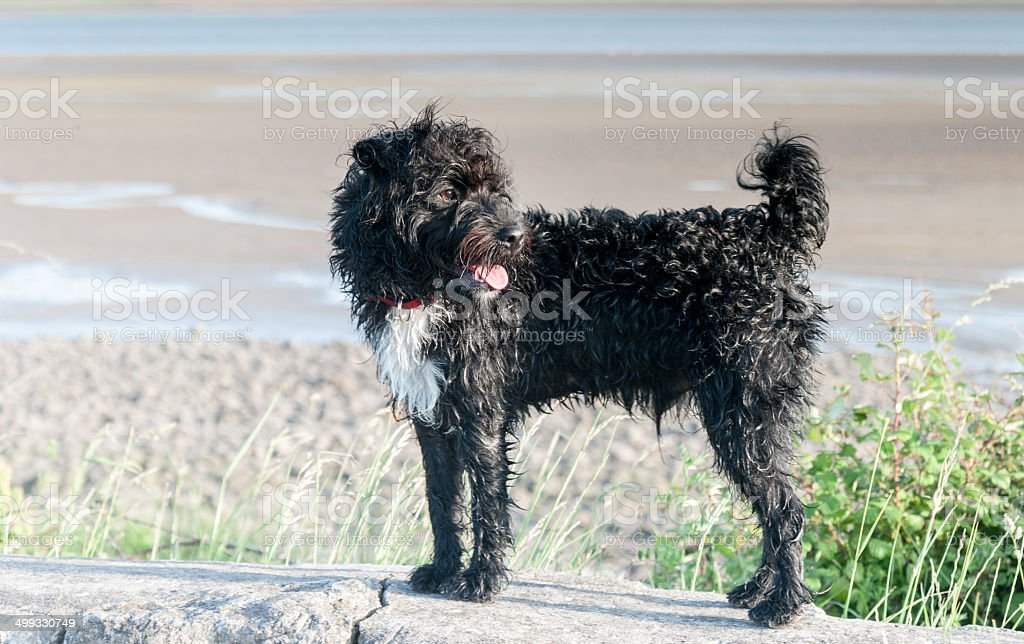 Small black and white terrier cross dog stock photo