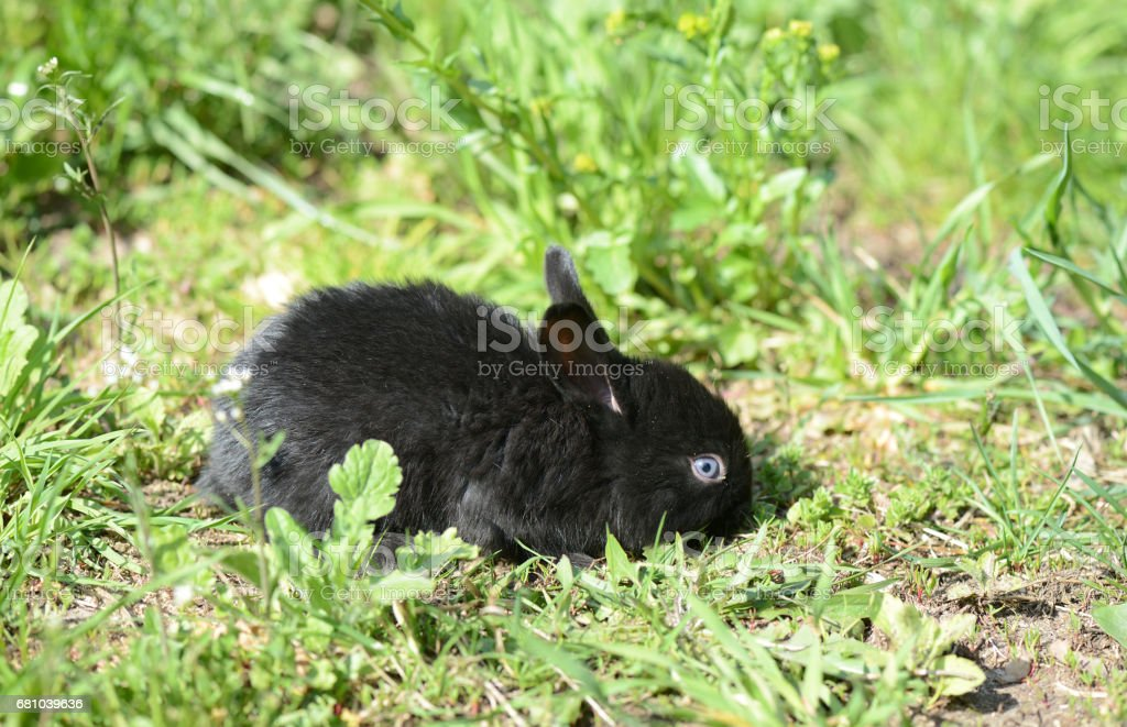 Small black baby rabbit on the grass royalty-free stock photo