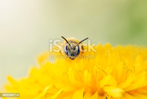 istock small black bee gathers nectar from yellow flower of dandelion 683388214