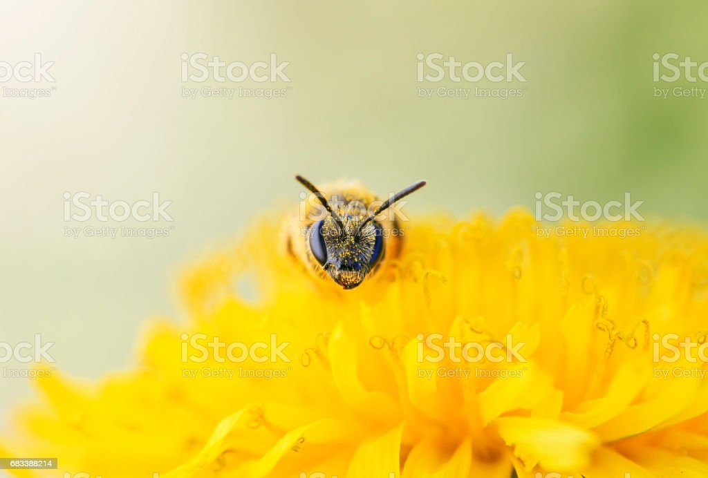small black bee gathers nectar from yellow flower of dandelion stock photo