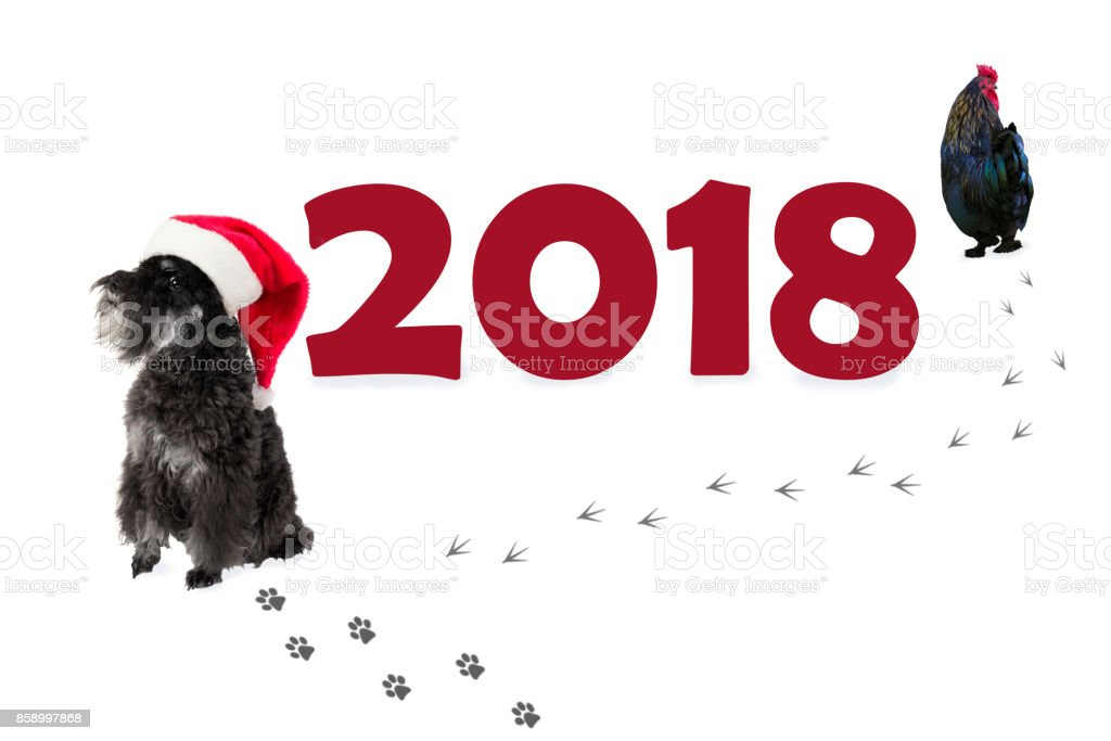 Small black dog (Miniature Schnauzer) in Santa's hat as a symbol of 2018 and rooster going away. Chinese new year concept. stock photo