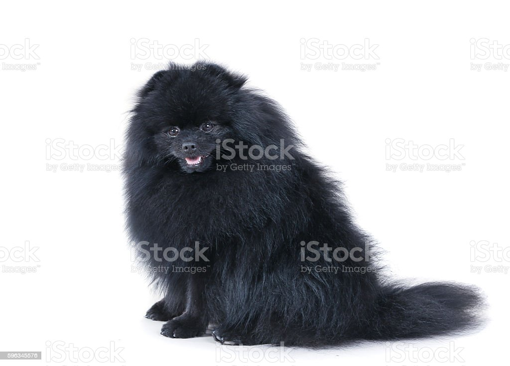 small black German spitz-dog royalty-free stock photo