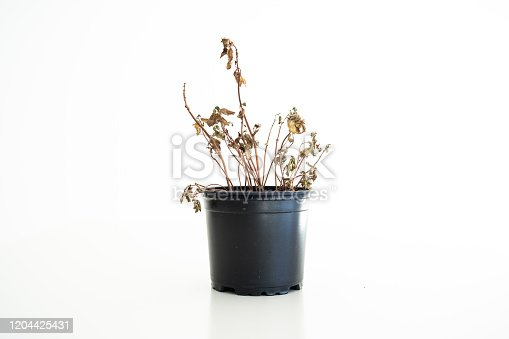 Small black plastic flower pot with a died out dried brown basil plant isolated against white 2020