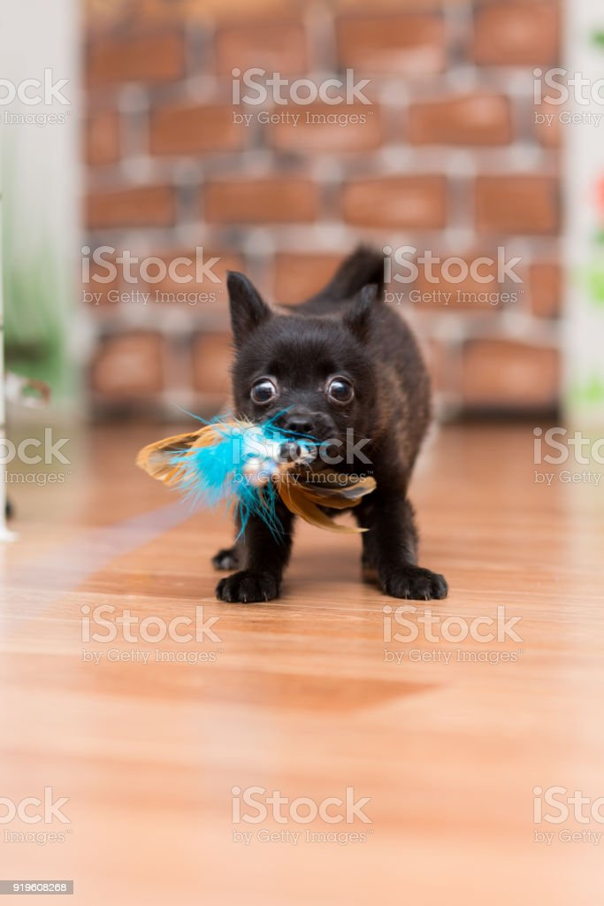 A small black playful puppy without a breed grabbed a toy and dragged himself stock photo