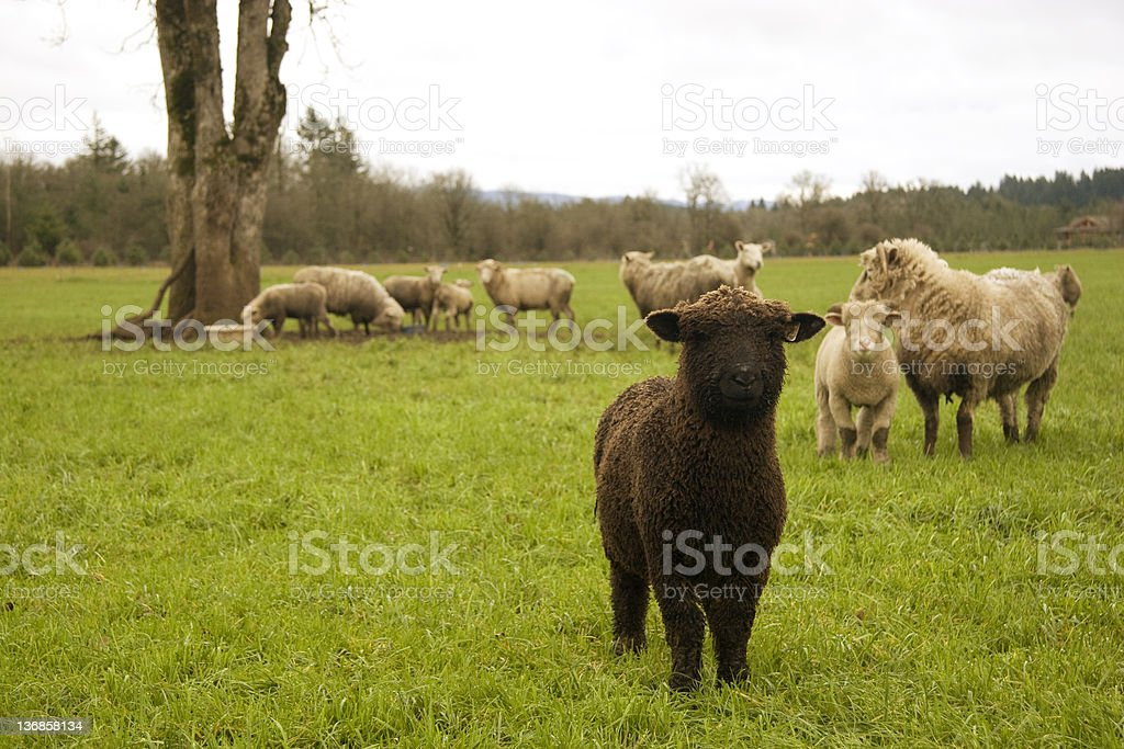 Small Black Sheep A black lamb stands in a field slightly apart from the rest of the flock. Agricultural Field Stock Photo