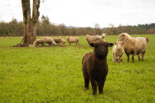 Small Black Sheep Stock Photo - Download Image Now