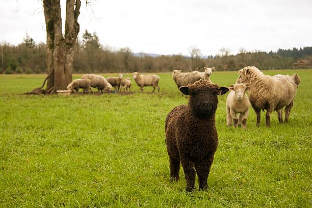 Small Black Sheep stock photo