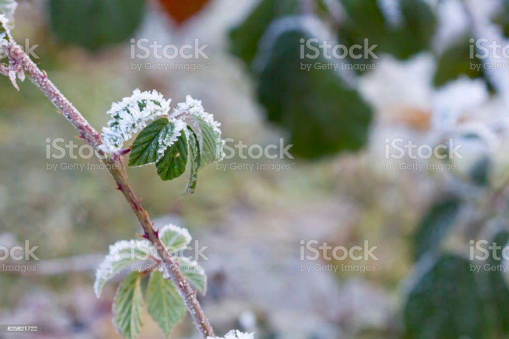 Flores pequeñas blackberry en una mañana helada. - foto de stock