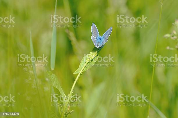 Small blue butterfly on the wildflower picture id476714478?b=1&k=6&m=476714478&s=612x612&h=7 tjf9rid5x4ywrdu4ekcn9ppohhileyyqrgjxyfrv8=