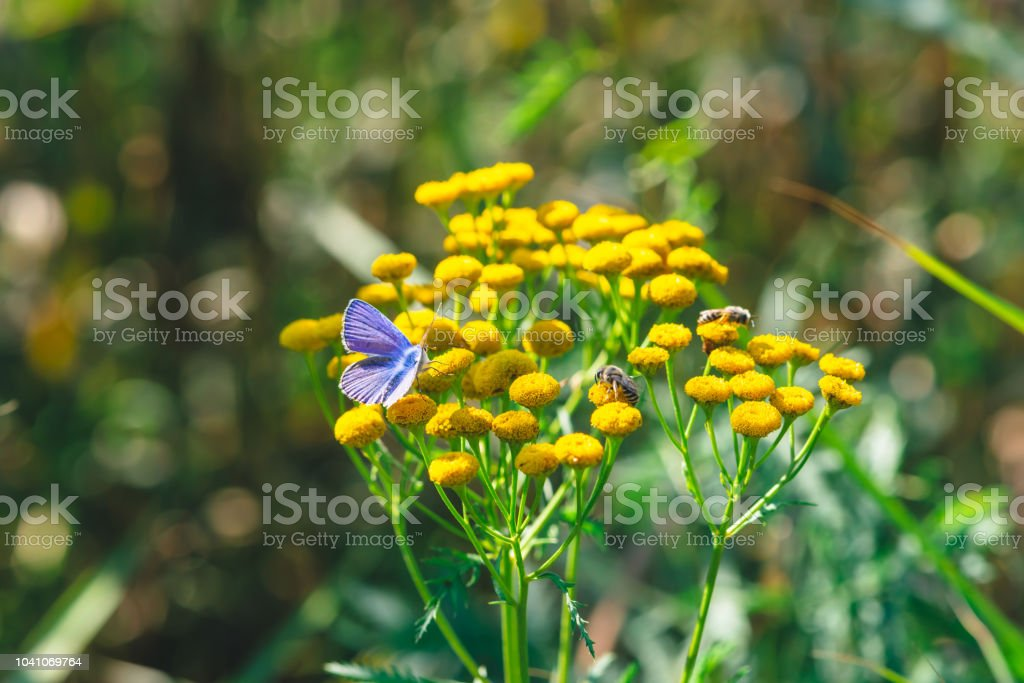 Small blue butterfly on yellow wild flower with copy space on bokeh. Beautiful insect close up on inflorescence on green blurred background. Tansy in macro. stock photo