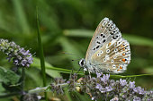 istock Small blue butterfly, Polyommatus coridon, in nature 1167205584
