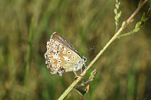 istock Small blue butterfly, Polyommatus coridon, in nature 1167206965