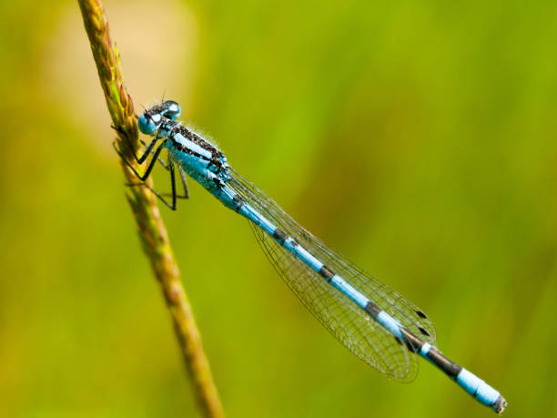 small blue dragon fly on stem beautiful blue close up macro of detailed blue dragonfly caenorhabditis elegans stock pictures, royalty-free photos & images
