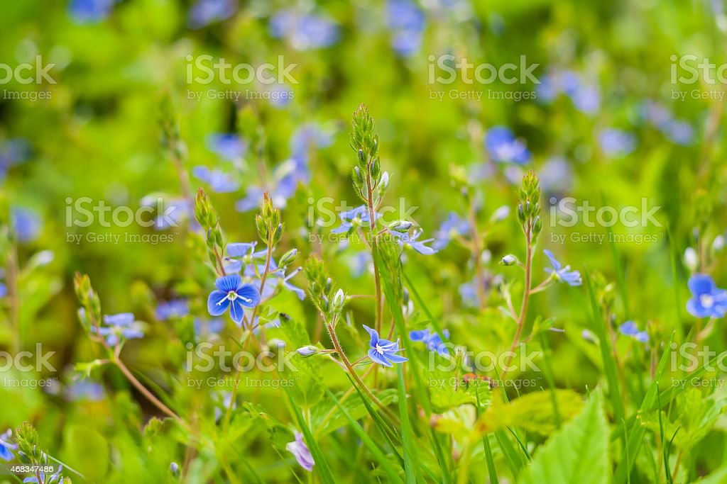 Small blue flowers growing in forest royalty-free stock photo