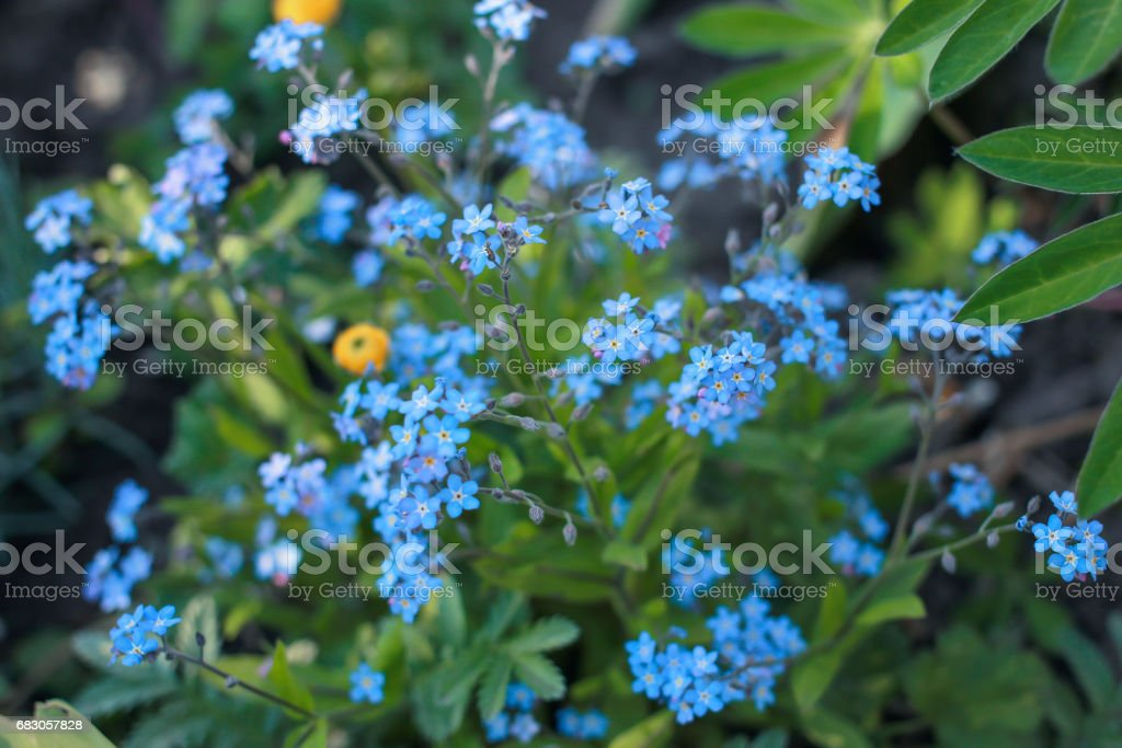 Small blue flowers in green grass. Delicate summer flowers foto de stock royalty-free
