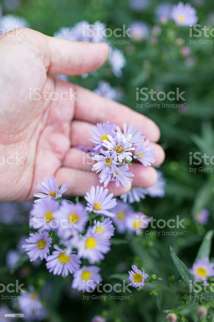 small blue flowers in hand on nature stock photo