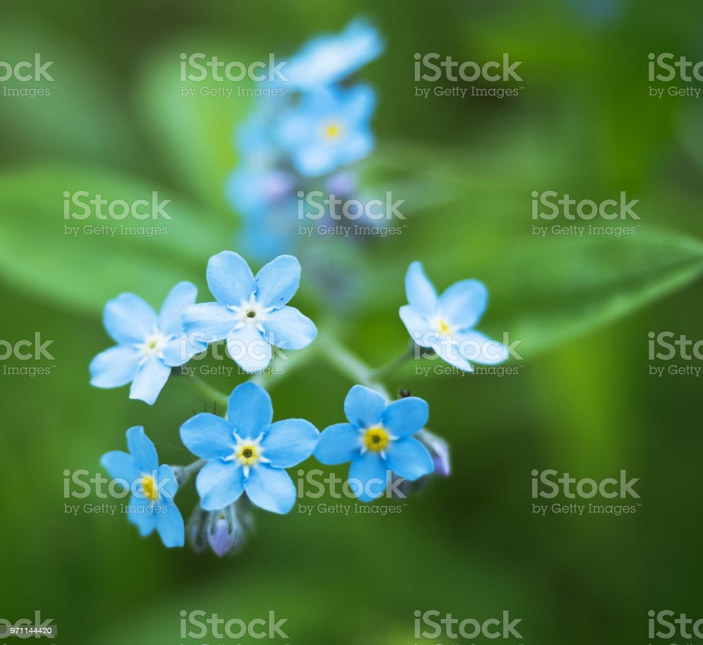 Small blue flowers large blue petals on a green background small blue flowers large blue petals on a green background forget me izmirmasajfo