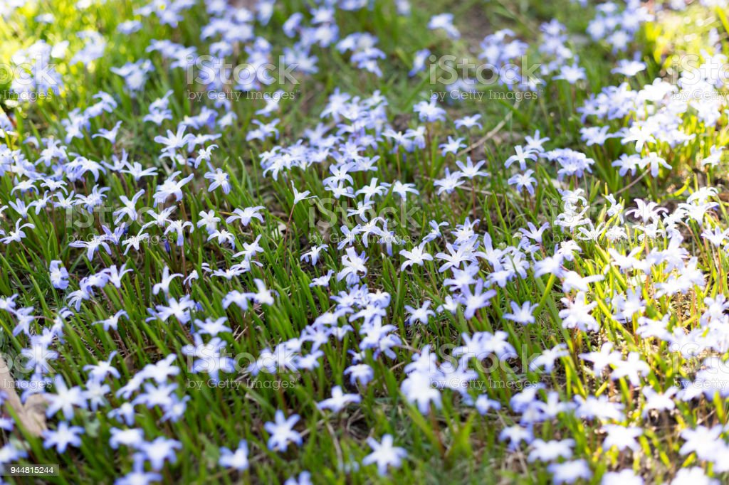 kleine blaue blumen auf der fr hlingswiese stock photo download image now istock