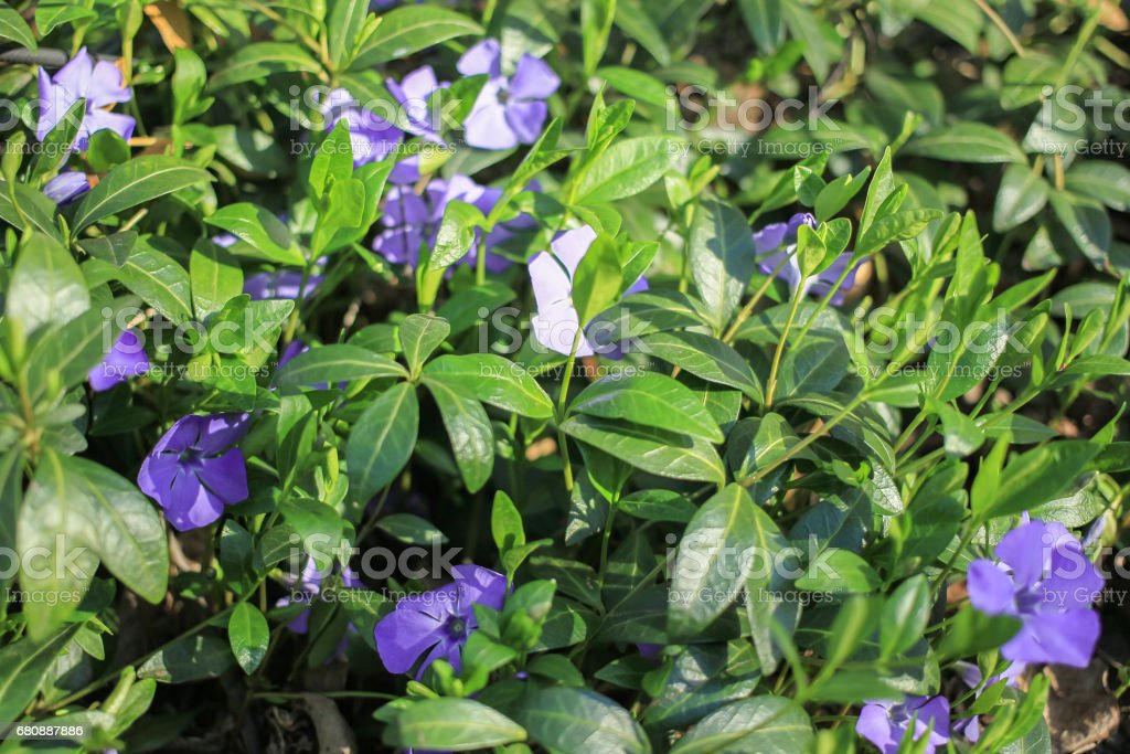 Small Blue Spring Flowers On A Green Glade Stock Photo More