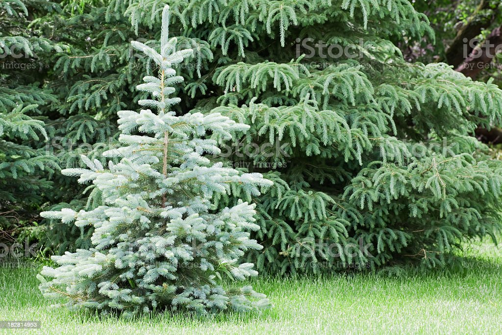 Small Blue Spruce Tree royalty-free stock photo