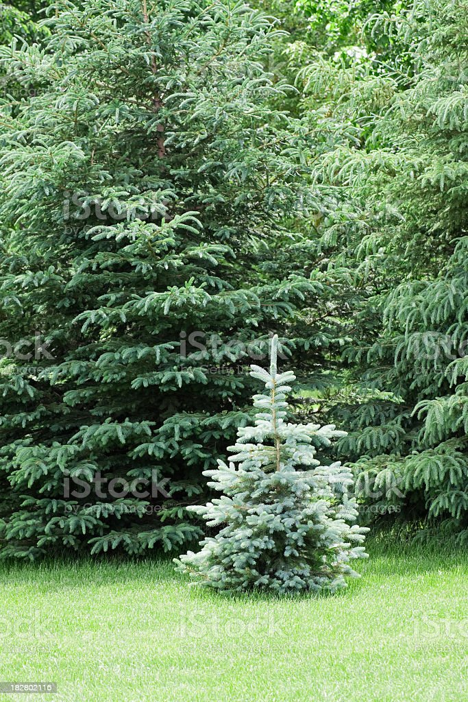 Small Blue Spruce Tree - Vertical royalty-free stock photo