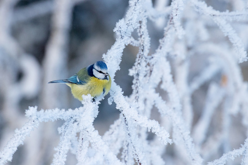 A small Blue tit, Cyanistes caeruleus in the middle of winter wonderland during a morning frost in boreal Estonian forest, Northern Europe.
