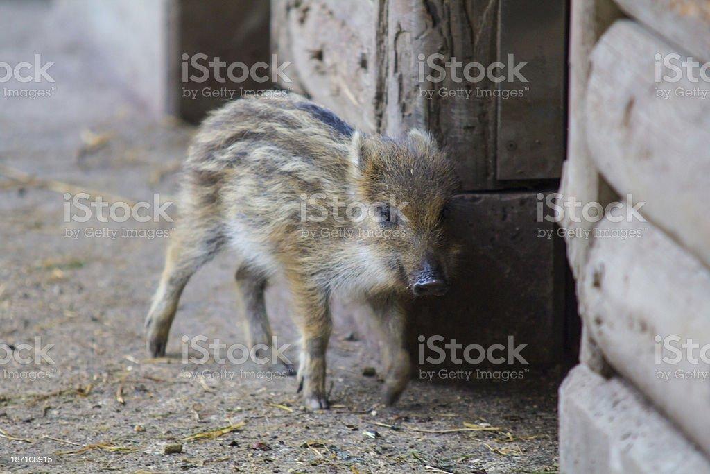 Small Boar stock photo