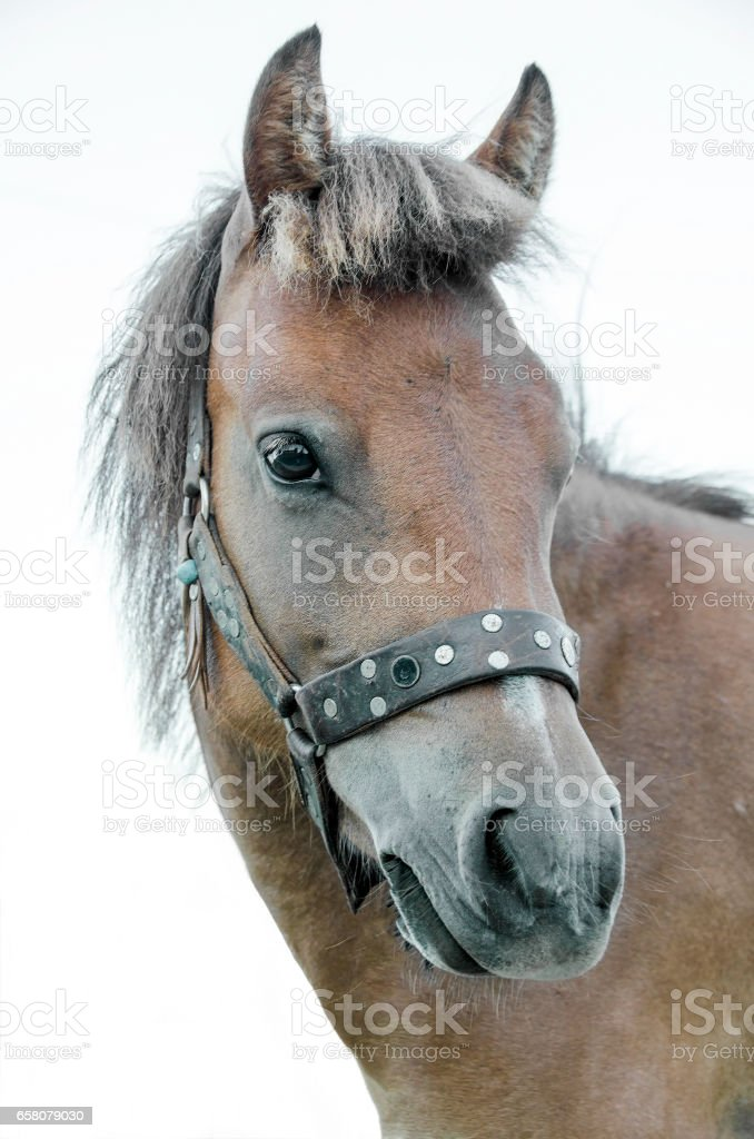 small bodied, greek, Skyrian horse royalty-free stock photo