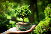 Small Cypress tree bonsai in Hand