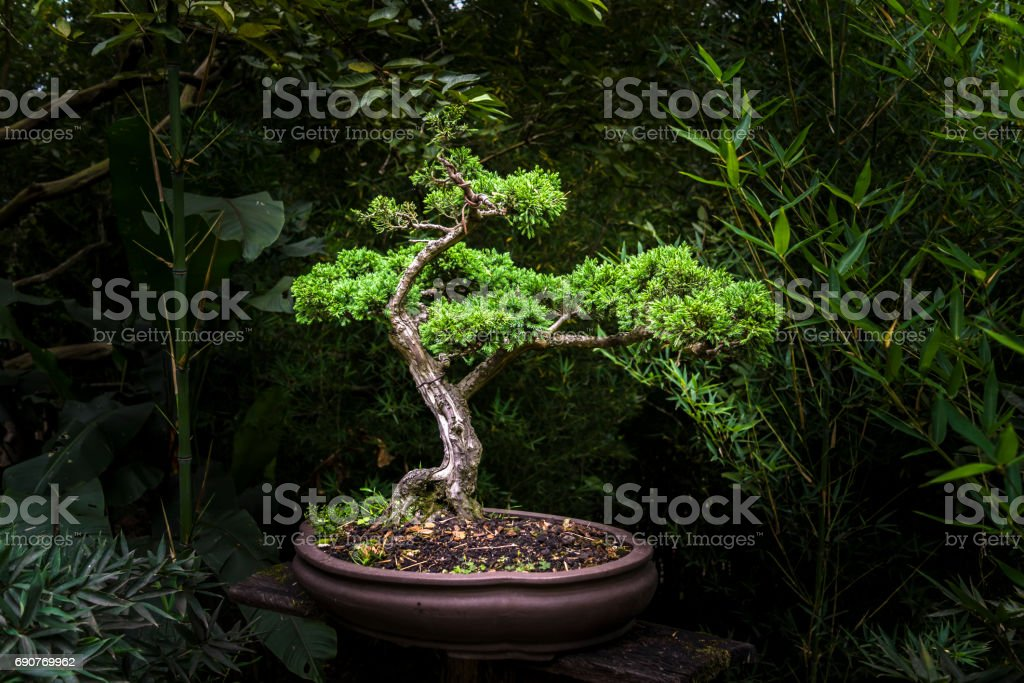 Small bonsai tree in exhibit - foto stock