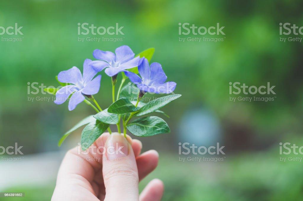 Pequeno buquê segurando a mão da menina. Um buquê de flores azuis - Foto de stock de Adulto royalty-free