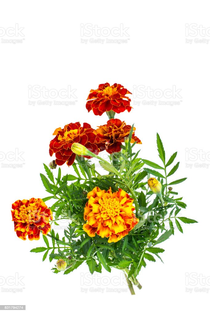 Small bouquet of tagetes on white background stock photo
