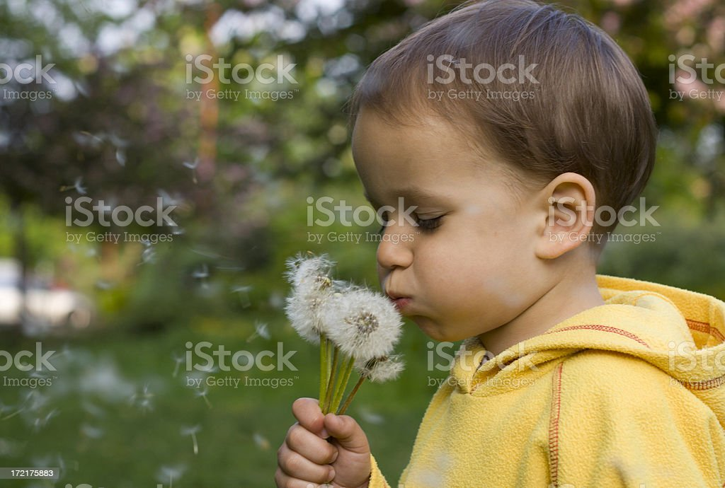 Small boy with a bunch of dandelions royalty-free stock photo